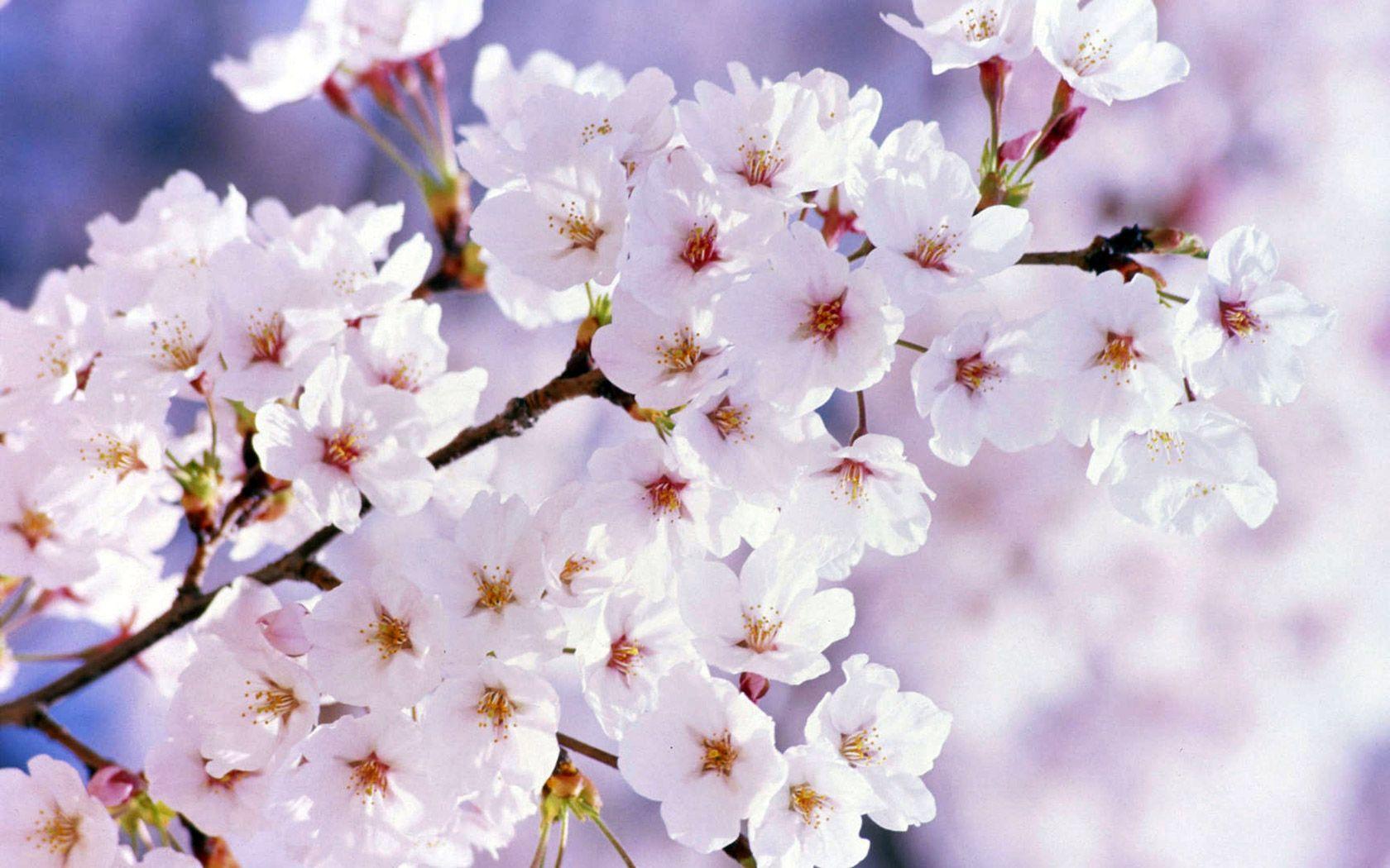 цветущая вишня, потепление
