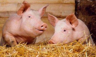 Органы для пересадки будут выращивать в теле животных