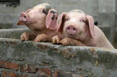 Свиньи, иллюстрация