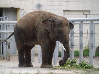 Слоненок Хорас