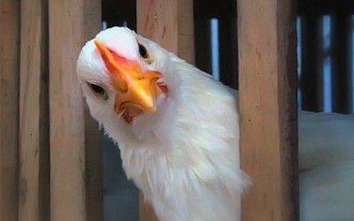 В Украину вернулся птичий грипп