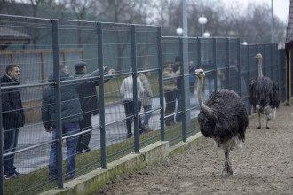 Африканские страусы в