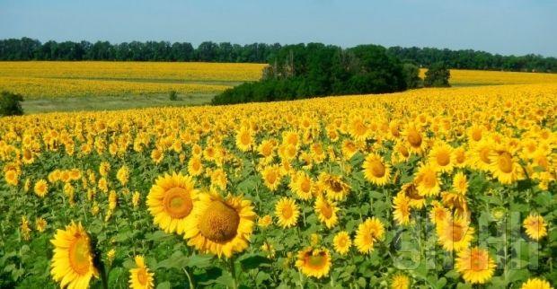 Фермерам могут запретить собирать урожай