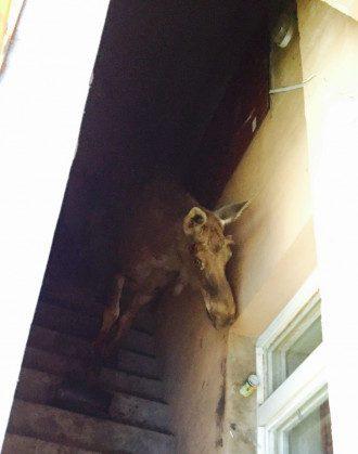 Напуганный лось в подвале