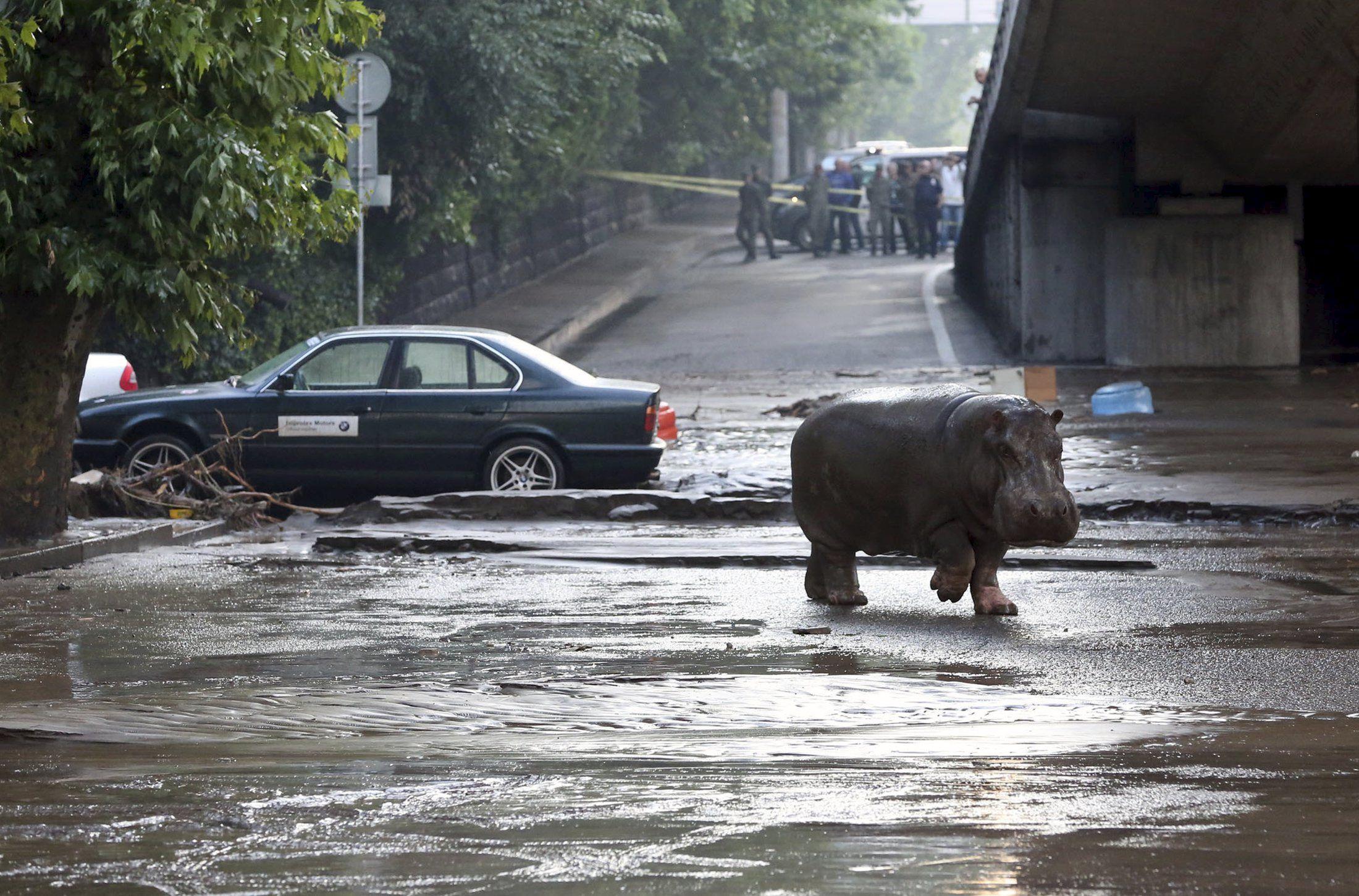 Наводнение в Тбилиси и сбежавший из зоопарка бегемот