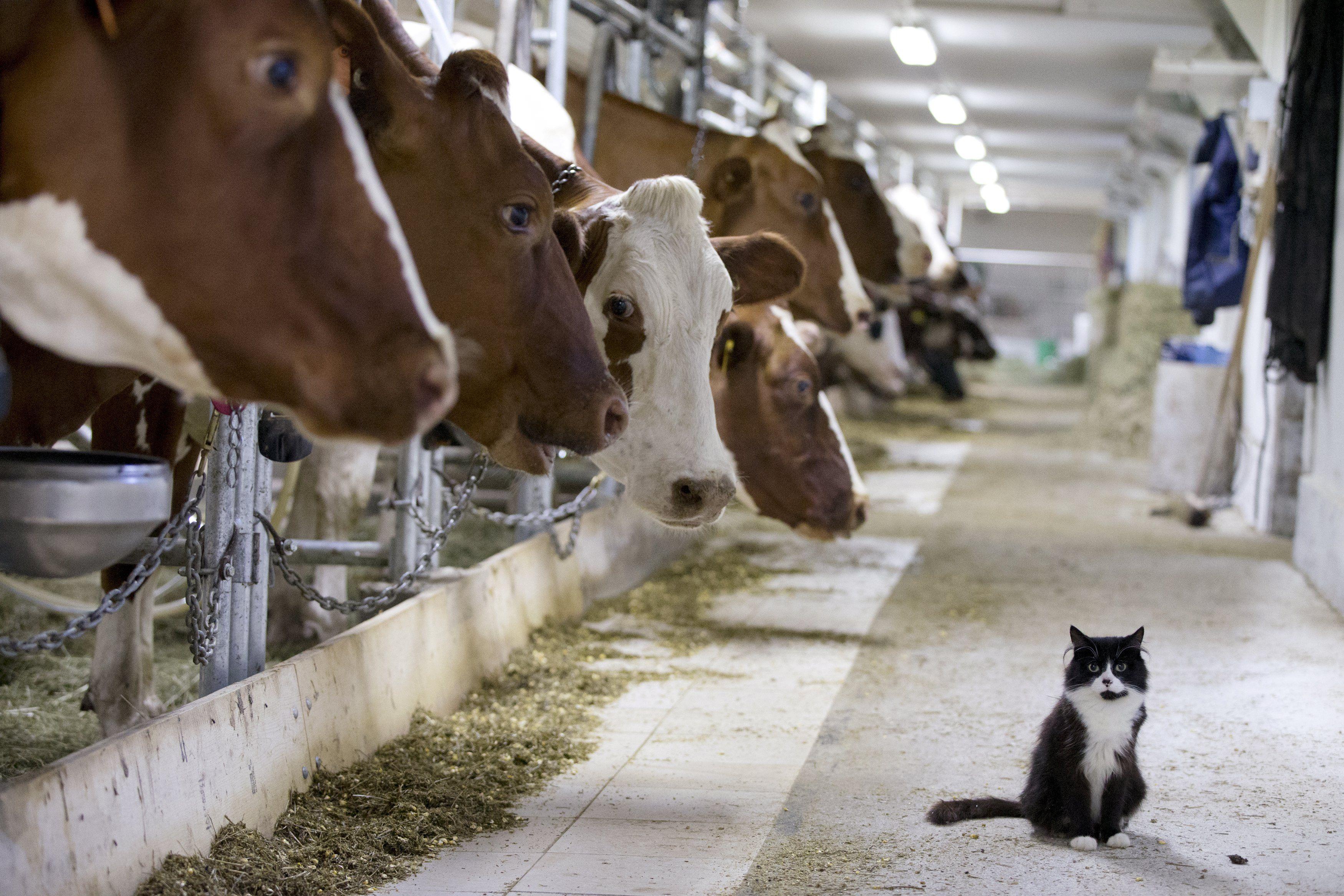 корова, кіт