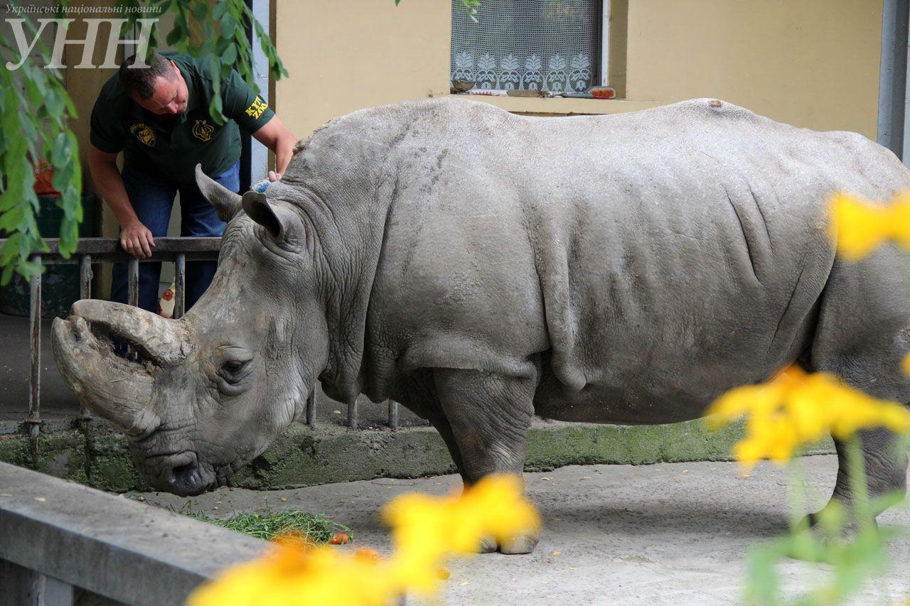 самка белого носорога