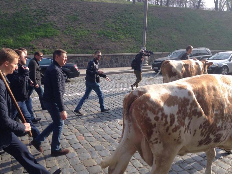 Ляшко с коровами