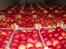 Яблоки, иллюстрация
