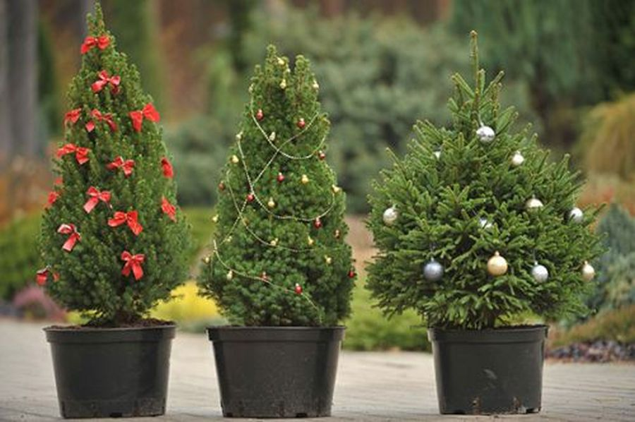 Лесники предлагают взять на праздники живое дерево.