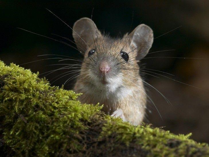Мышь, иллюстрация