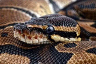 змея, анаконда