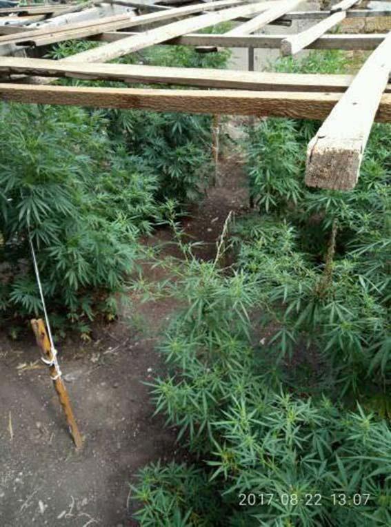 На Херсонщине накрыли банду наркоторговцев. Изъяли марихуаны на 2 миллиона, опубликованы фото