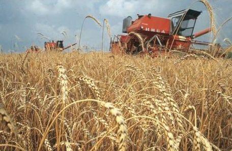 Росія нарощує вивезення пшениці з ЛДНР