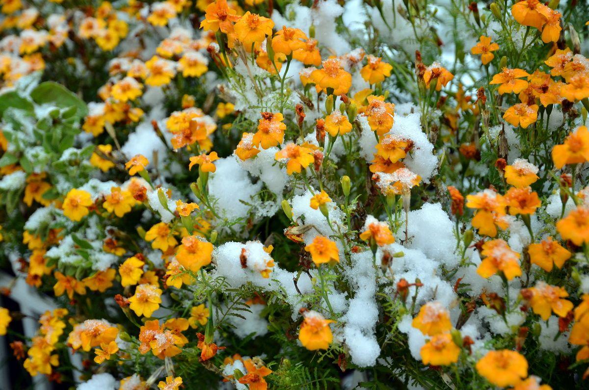 Снег на последних осенних цветах.