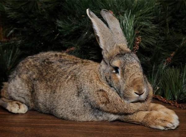 Кролики - это не только ценный мех, но и способ увеличить рождаемость