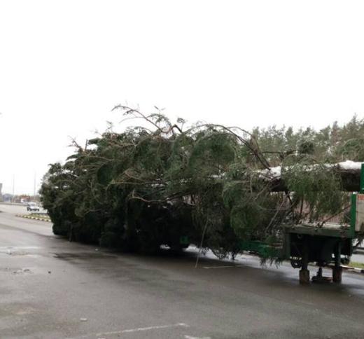 Дерево ждали на Софийской площади в 12:30