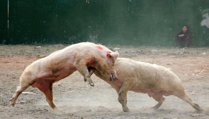 Свиньи порой бывают очень решительными животными