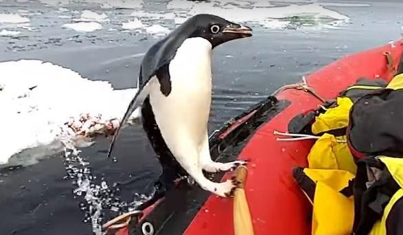 Любопытный пингвин запрыгнул в лодку