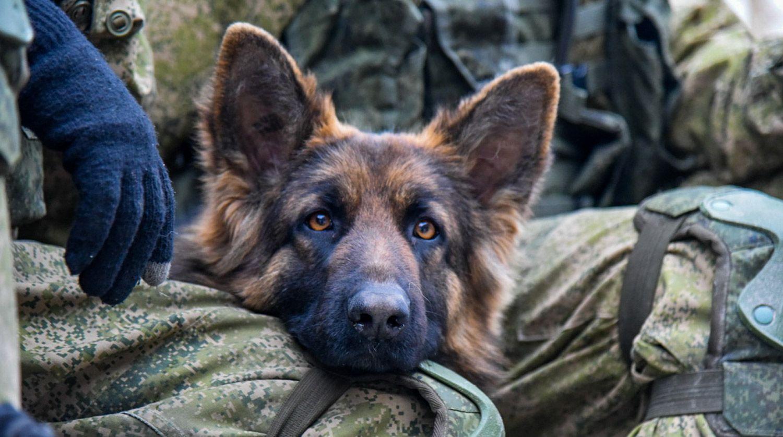 Собака-овчарка