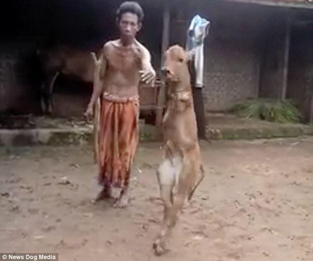 В Индонезии двуногий теленок научился ходить по-человечески, фото, видео