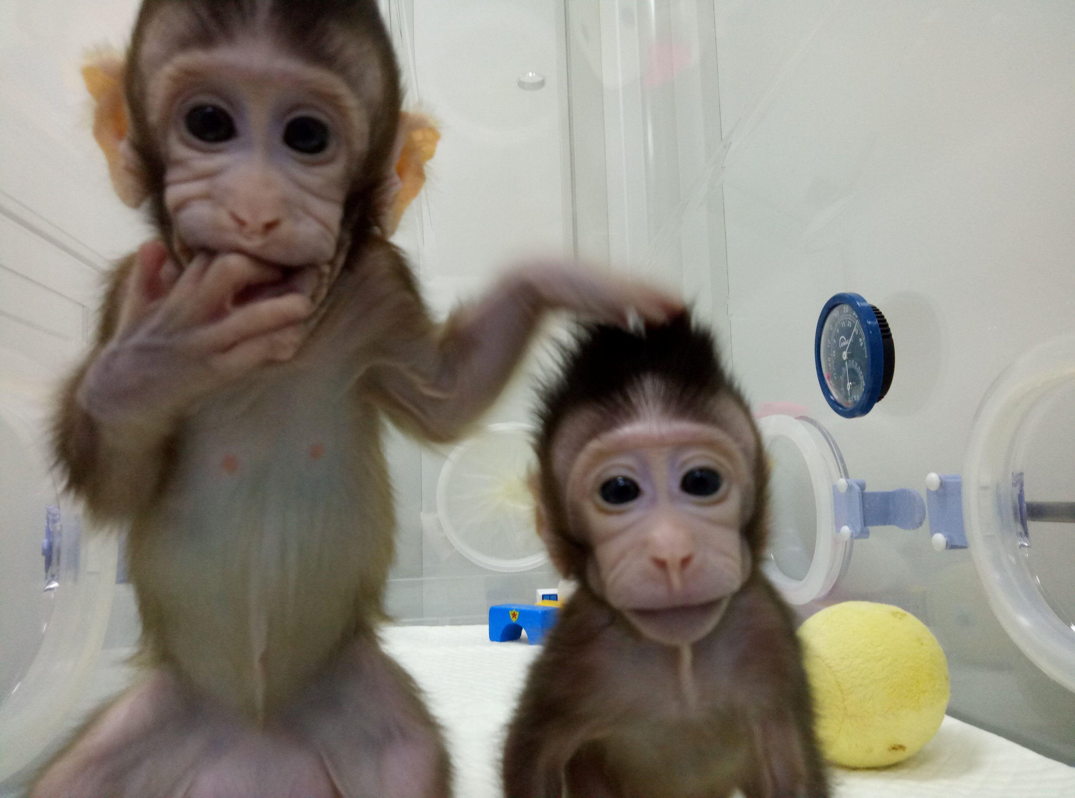 В Китае ученые клонировали обезьян