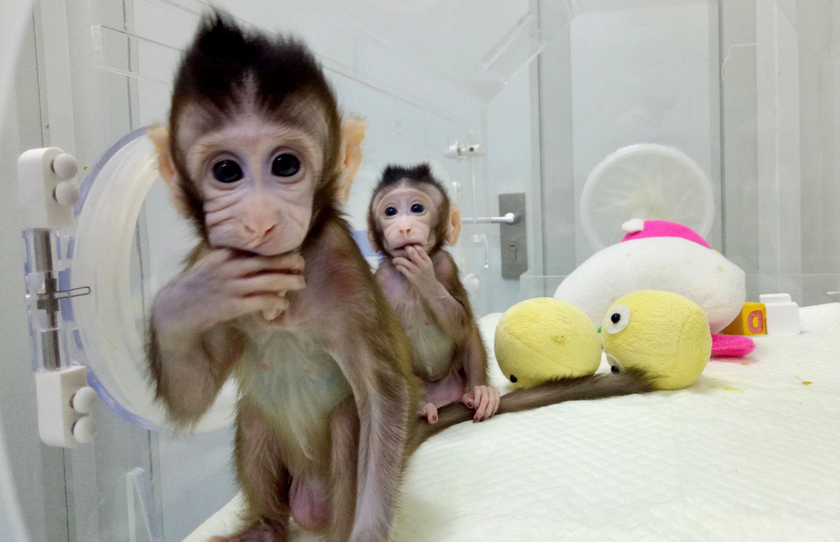 На очереди — человек. В Китае ученые клонировали обезьян, опубликованы фото и видео
