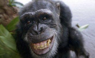 В США заявили о создании гибрида человека и шимпанзе