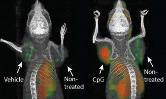 Ученые использовали иммунные стимуляторы для борьбы с онкологией у мышей Фото: MedicalXpress