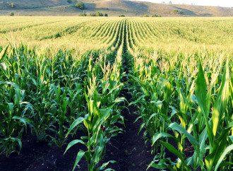 В Китае закупают украинскую кукурузу