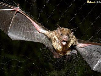 летучая мышь, вампир