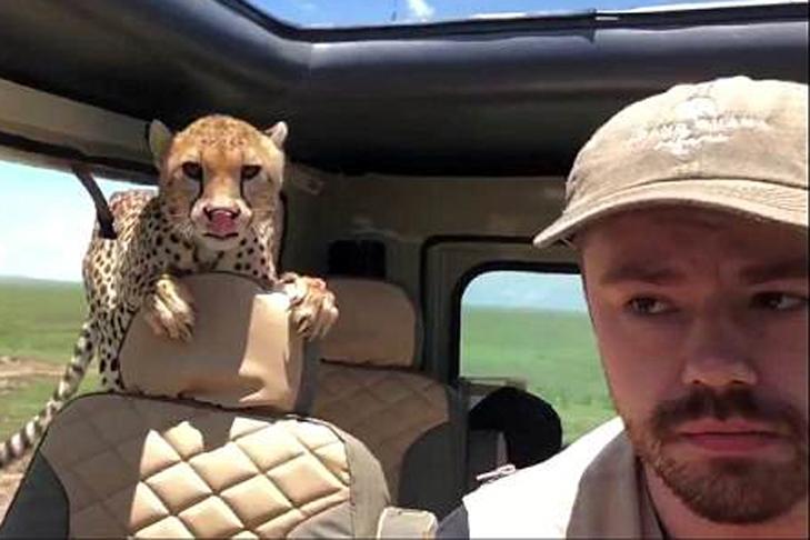 Гепард запрыгнул в салон автомобиля