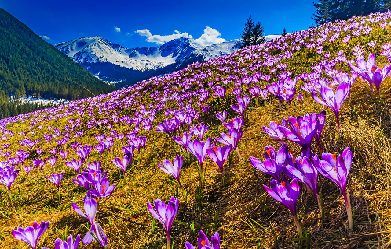 крокусы_Весна_погода