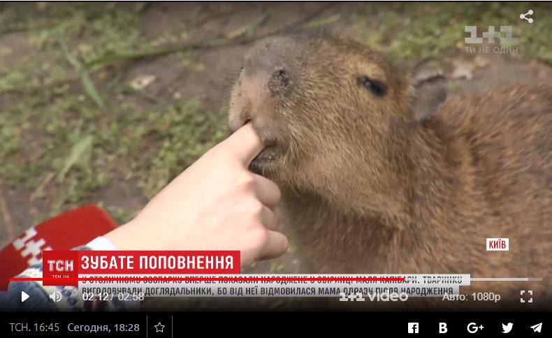 Маленькая капибара останется в Киеве.