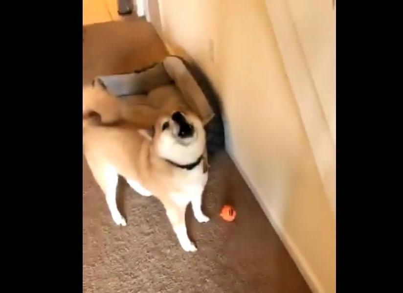 Пес активно разговаривает со своей хозяйкой