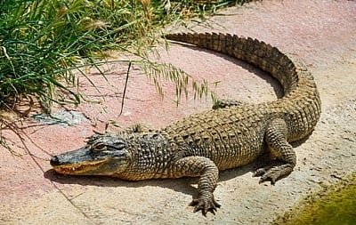 Пресловутый крокодил