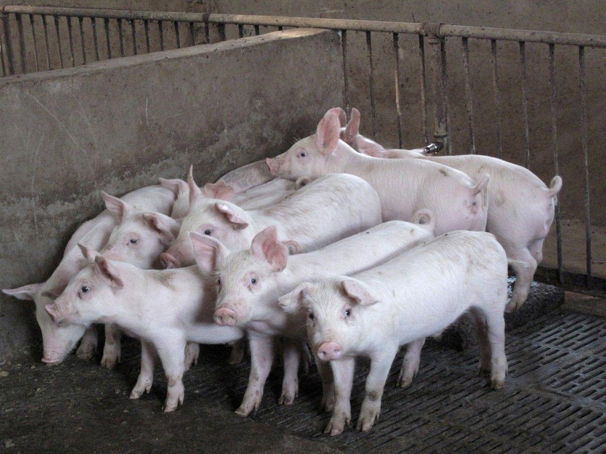 В Польше обвинили российских свиней в распространении чумы