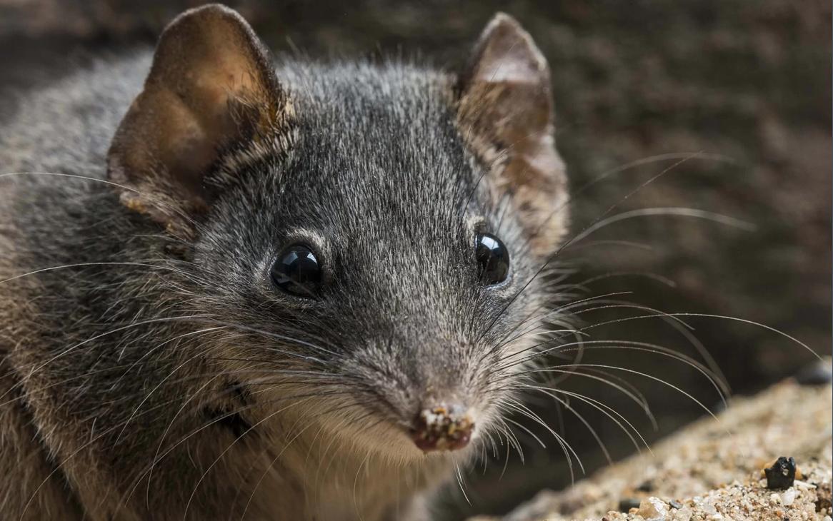 Мыши ебливые