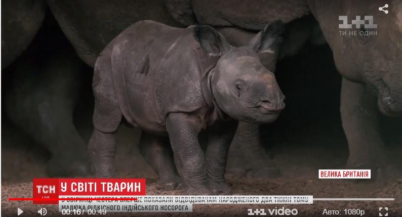 Британцам показали двухнедельного малыша индийского носорога.