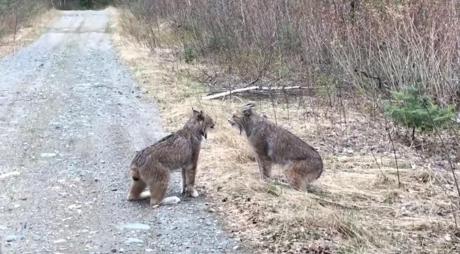 Рыси оказались с характером и не хотели уступать друг другу