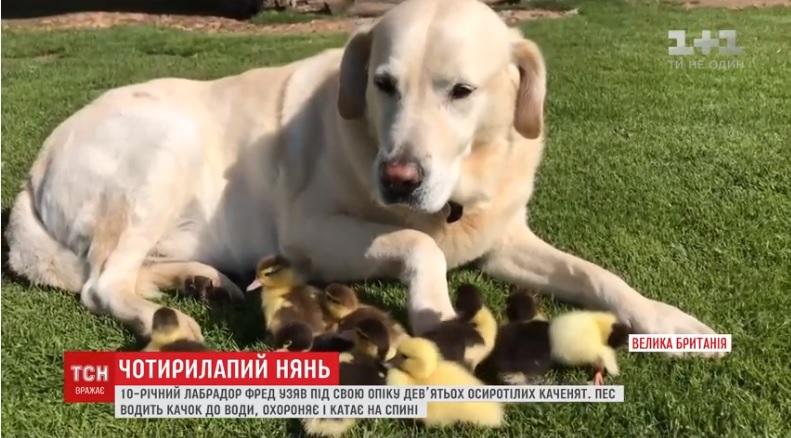 В Британии пес выхаживает 9 утят.