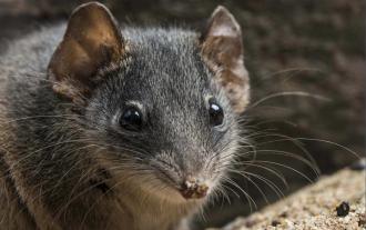 Сумчатая мышь в Австралии