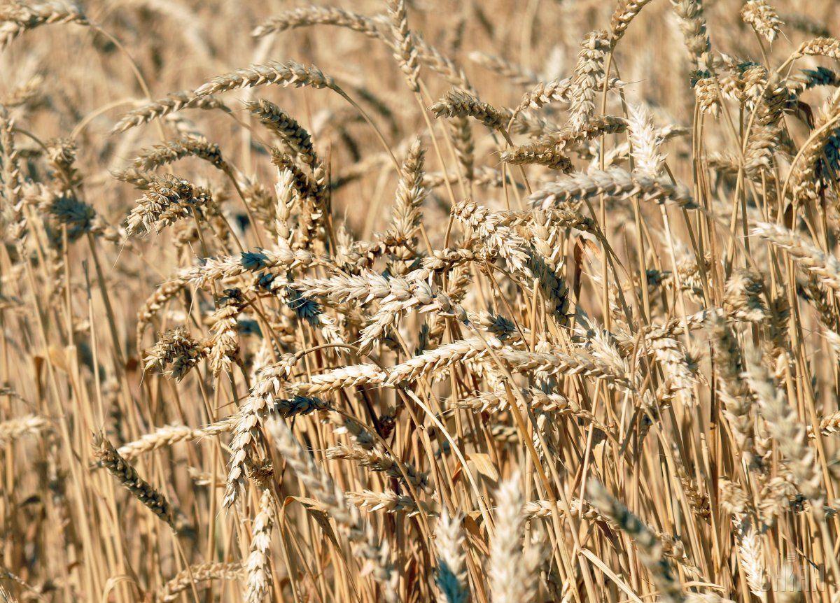 Фермер не намерен отдавать рейдерам урожай пшеницы