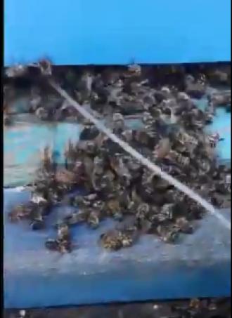 Люди утром нашли возле ульев кучи мертвых пчел