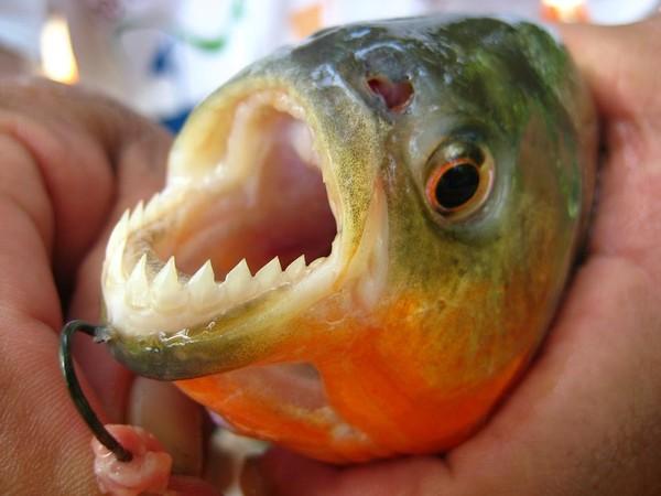 Отважная рыбачка выловила пиранью