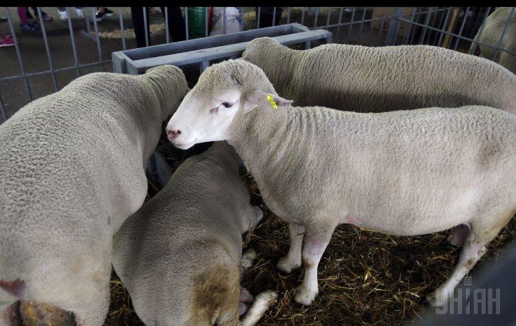 Журналисты узнали, что на Тернопольщине убили восемь овец и выпили их кровь