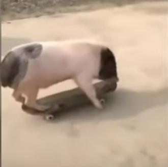 Свинья мастерски освоила скейт / Фото: скрин из видео
