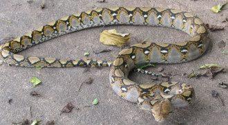 Питон / Reptiles and Amphibians of Bangkok