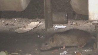 Крысы заполонили центр столицы
