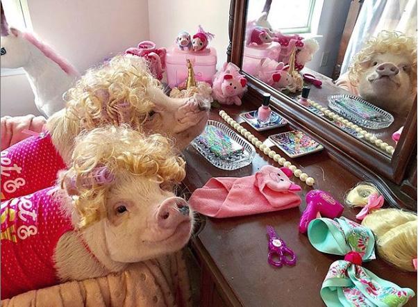 Гламурные свинки в Instagram